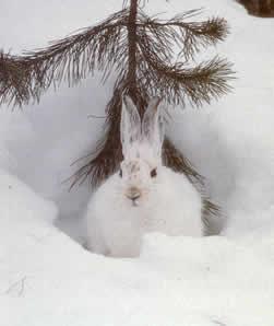 صورة مغامرة ارنب الثلج